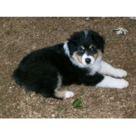 australian shepherd puppies nc free barkl miniature australian shepherds miniature australian shepherd breeder in