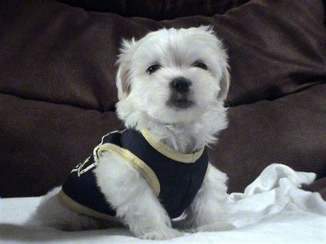 maltipoo puppies for sale in va teacup maltipoo puppies for sale adoption from chesapeake gb virginia adpost