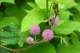 bermanfaat  tumbuhan putri malu aspal putih