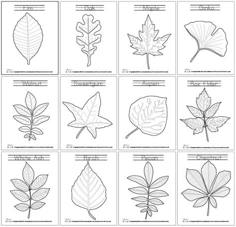 coloring pages ginkgo tree leaf coloring pages