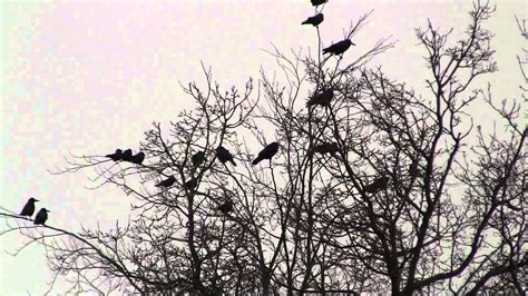A Murder Of Crows a murder of crows hd