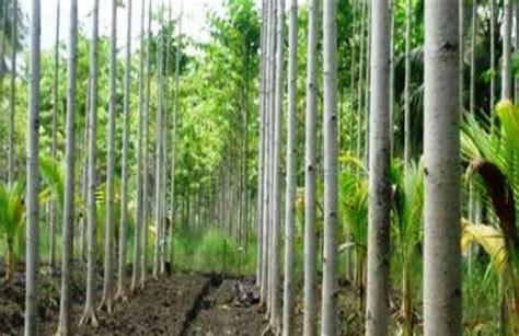 Harga Bibit Sengon 2018 harga kayu sengon dan bibit terbaru februari 2019