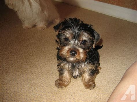 yorkies for sale in athens ga registered teacup puppies for now for sale in athens