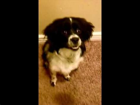 american eskimo shih tzu 33 best images about dobby and mozzie on princess cats and