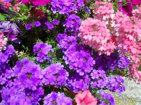 verbena fiore la finestra di stefania verbena il fiore che canta il