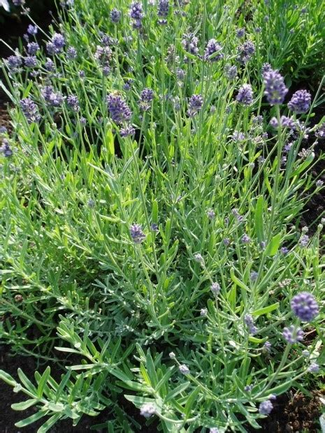 virtuous herbs 10 common herbs to plant in your garden plants shrubs trees wcfcourier com