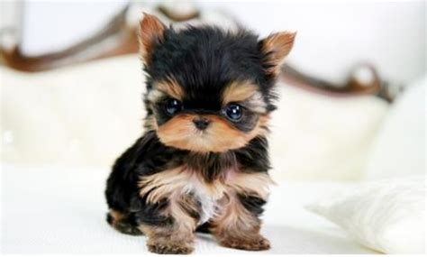 pictures of baby yorkie puppies seriously yorkie puppies gracie lu shih tzu