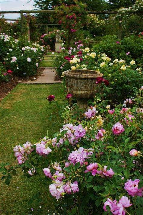 growing with plants david austin roses