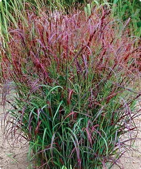 ornamental grass red switch grass panicum full sun