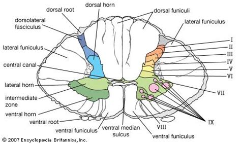 cross section of mammalian spinal cord spinal cord anatomy britannica com