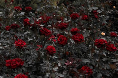 red roses garden leaves wallpapers