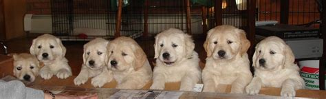 golden retriever puppies pennsylvania white golden retriever puppies pa images