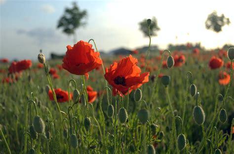 file poppies field in flanders jpg