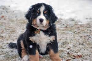 Breeder bernese mountain dog 170 breeder bernese mountain dog