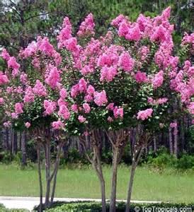 crepe myrtle colors pink crape myrtle varieties lagerstroemia indica crape