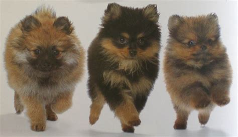 does pomeranian hair grow back find the right puppy pomeranian