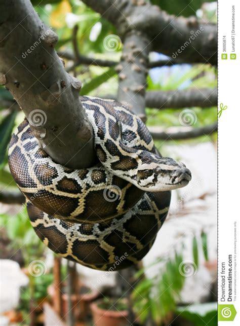 python image burmese python stock images image 36005874