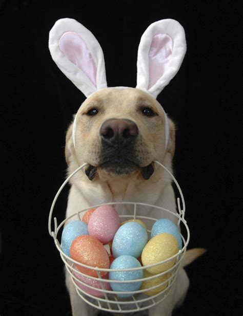 easter puppy happy easter yellow labrador retriever easter whimsy artistic bunnies
