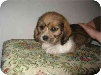 beagle and shih tzu bea tzu beagle shih tzu mix info temperament puppies pictures
