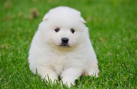 how to a spitz how to whiten a japanese spitz coat japanesespitzhq