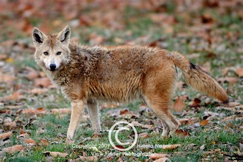 coyote in my backyard coyote in my backyard ate the neighborhood cat warning