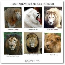 lions colors i animals i in the animal kingdom