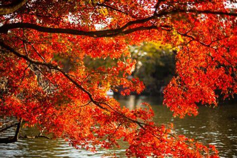 imagenes de otoño en japon el momiji japon 233 s daniel berlanga