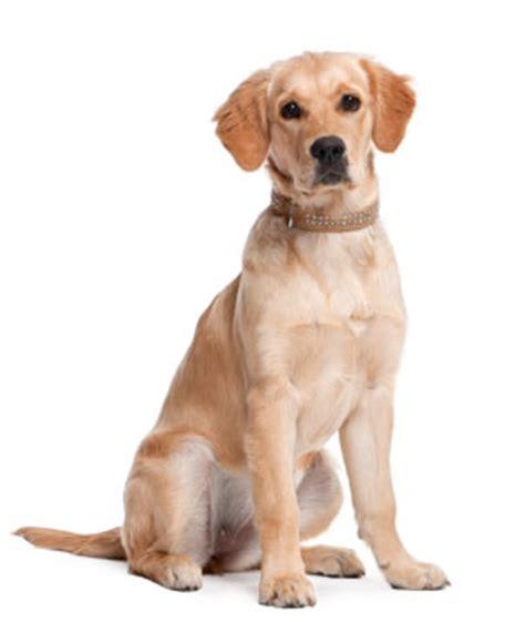 service dogs florida service dogs canines 4 service florida