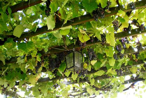 22 unique pergolas with grape vines pixelmari com