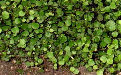 muehlenbeckia axillaris nana little leaf creeping wire wine mentor gardening pinterest