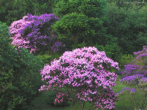 pink and purple tree tibouchina on flower wednesday sequoia gardens
