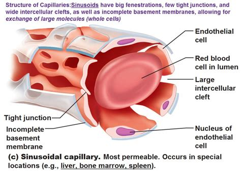 capillary diagram image gallery sinusoidal capillaries