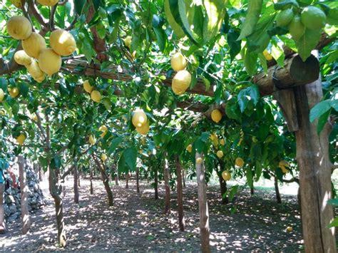 giardino di limoni la coltivazione limone 50 sfumature re degli agrumi