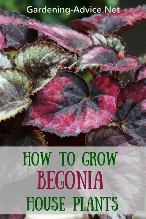 How To Grow Herbs Indoors the angel wing begonia and care of begonia house plants