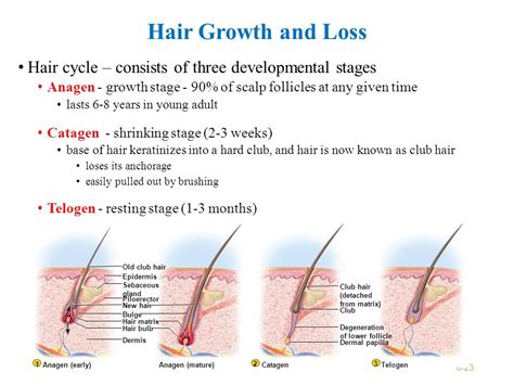 beginning stages of growing hair out for black men overview integumentary system consists of the skin and