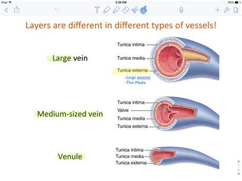 Blood Typr 3 3 types of blood vessels three types of blood vessels
