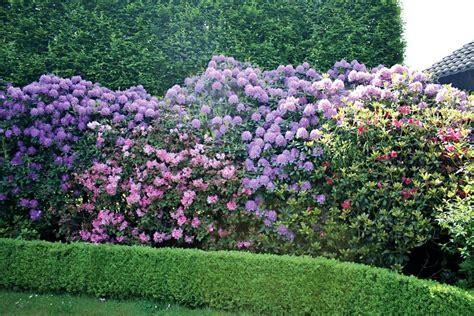 rhododendron hecke rhododendron catawbiense grandiflorum 2 pfl otto