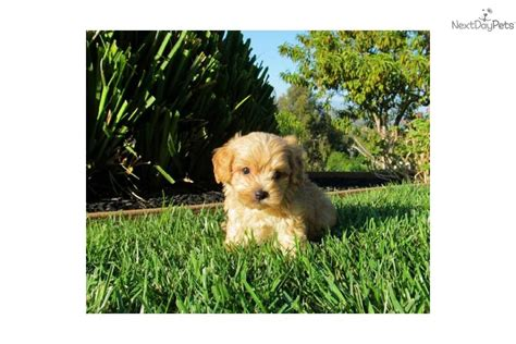 cavapoo puppies for sale california meet buddah a cavapoo puppy for sale for 695 cavapoo puppies for sale in san
