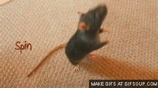 reasons  rats    pets