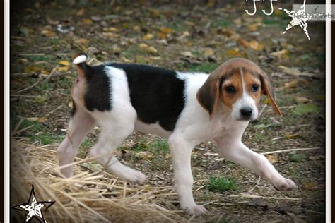 american foxhound puppies for sale near me american foxhound puppy for sale near kirksville missouri b5df83bc 24b1