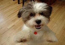 havanese teeth royal flush havanese reviews tips on proper dental care for canines