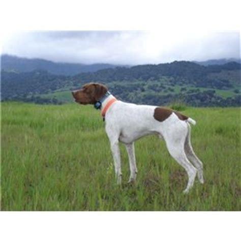 braque francais puppies sale braque francais puppies pointer litter announcement ad 63403