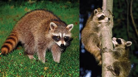 what to do if a raccoon is in your backyard learn about raccoons mass gov