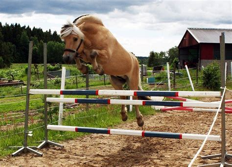 fjord horse jumping norwegian fjord horse jumping www imgkid the image