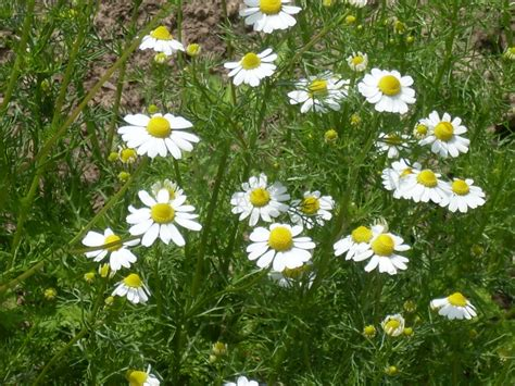 Herb Container Garden - german chamomile seeds greenmylife anyone can garden