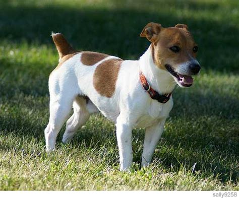 smartest small breeds terrier the smartest small in the world