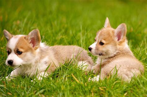 vr puppies corgi puppies 22 daniel stockman flickr