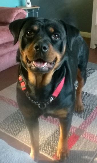 1 year rottweiler for sale rottweiler for sale stockport greater manchester pets4homes