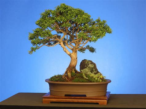 bonsai the art of the art of bonsai xemanhdep photos awesome pictures gallery