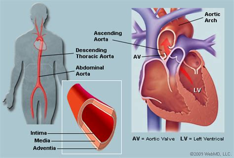 diagram of the aorta the aorta human anatomy picture function location